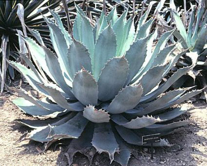 Plant photo of: Agave potatorum
