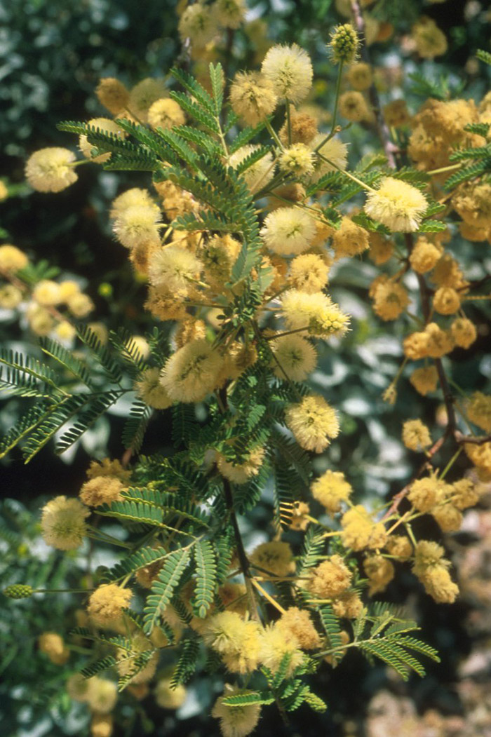 Plant photo of: Acacia berlandieri
