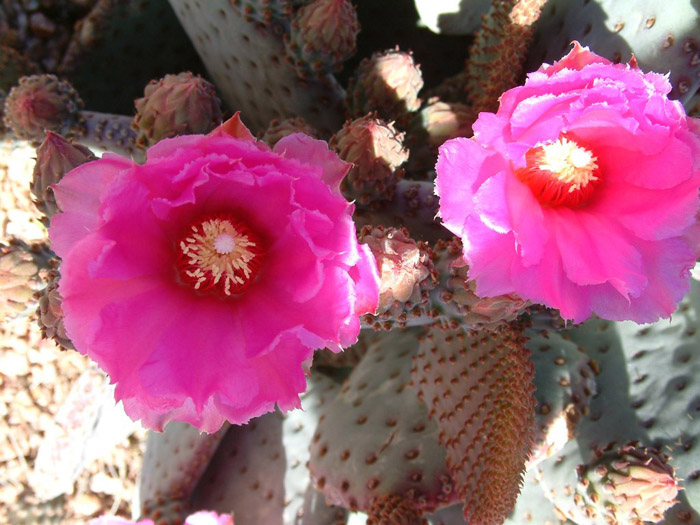 Plant photo of: Opuntia basilaris