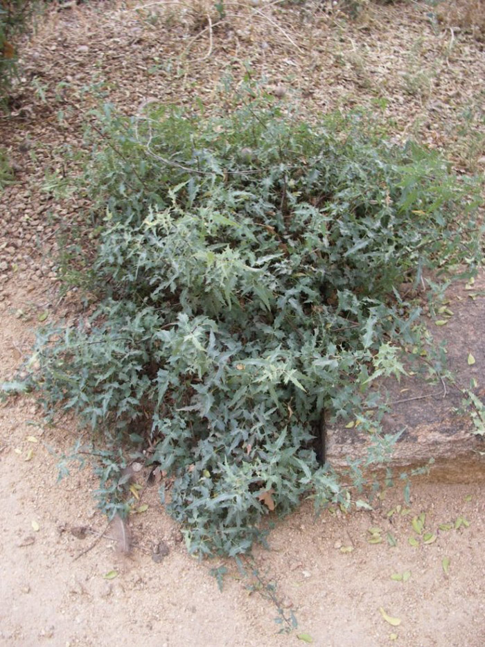 Plant photo of: Berberis trifoliolata