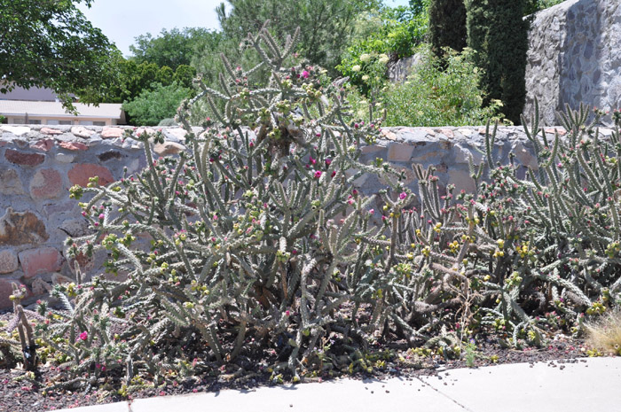 Plant photo of: Cylindropuntia Imbricate
