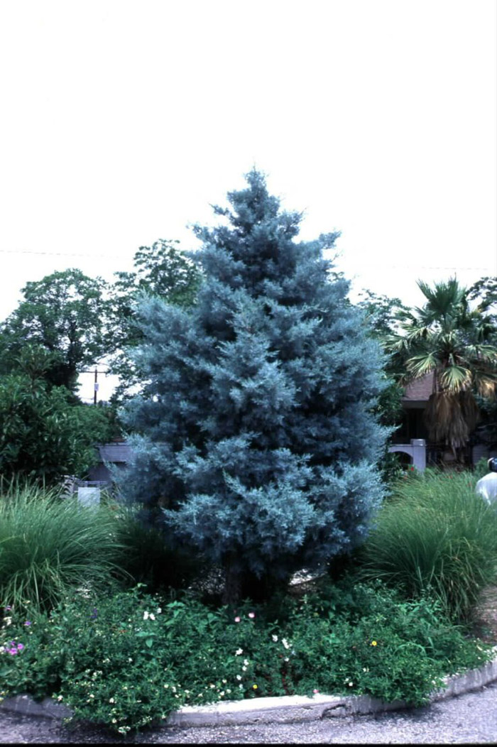 Plant photo of: Cupressus arizonica compacta