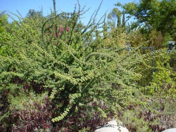 Plant photo of: Acacia schaffneri