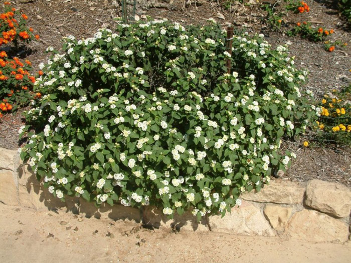 Plant photo of: Lantana montevidensis 'White'
