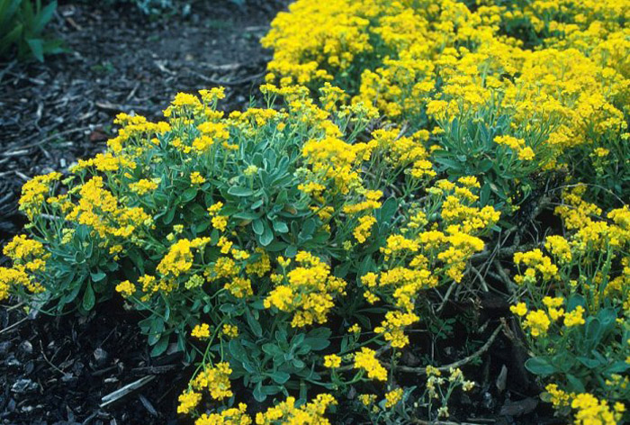 Plant photo of: Aurinia saxatilis