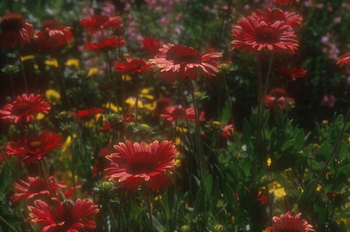 Plant photo of: Gaillardia pulchella 'Gaiety' Mixed Colo