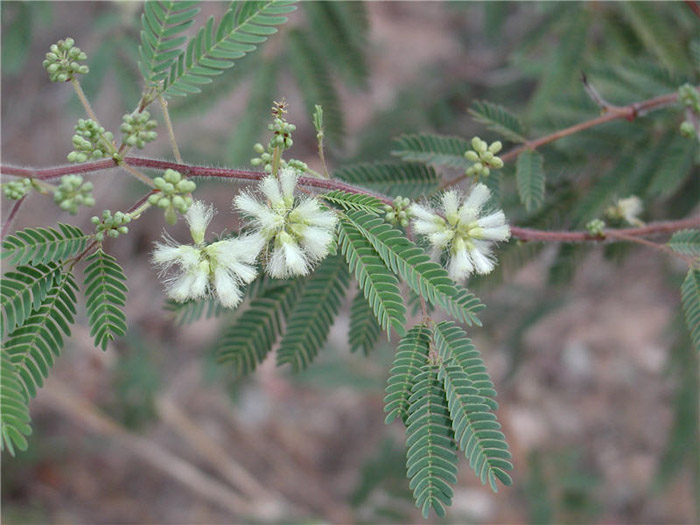 Plant photo of: Acacia angustissima