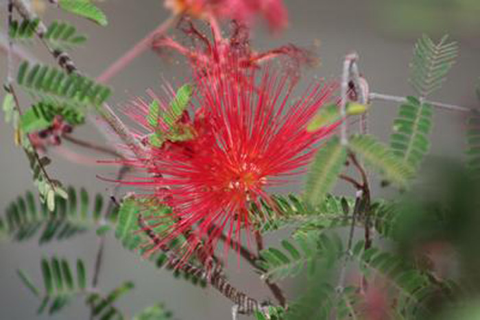 Plant photo of: Calliandra peninsularis