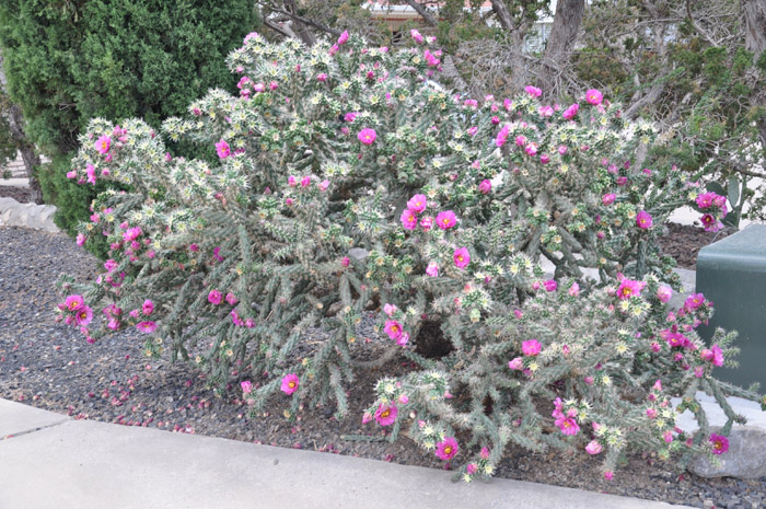 Plant photo of: Cylindropuntia spinosior