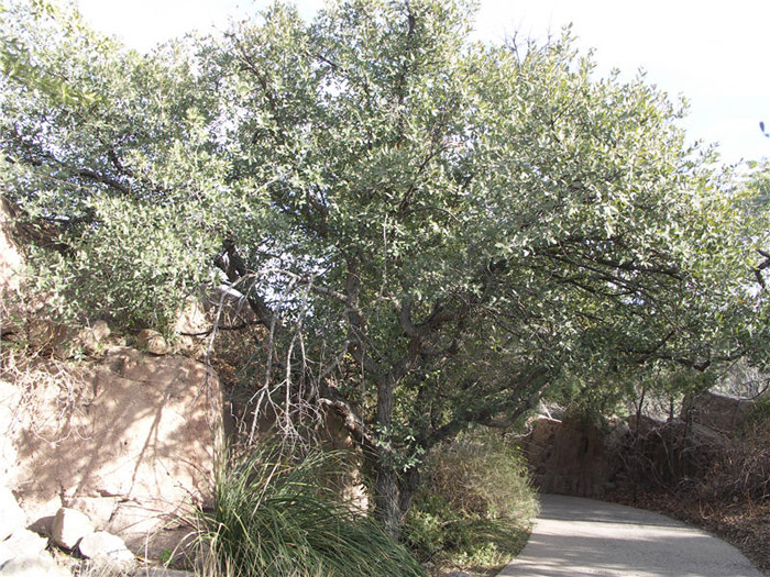 Plant photo of: Quercus arizonica