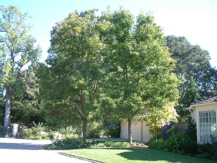 Plant photo of: Pyrus calleryana 'Aristocrat'