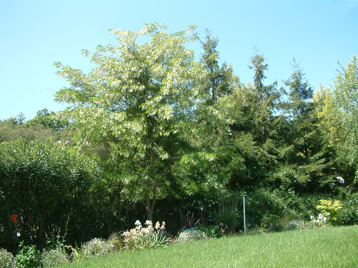 Plant photo of: Robinia pseudoacacia