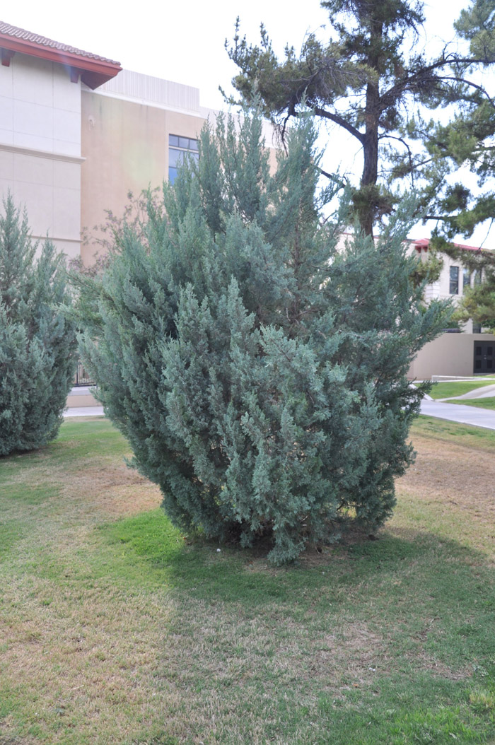 Plant photo of: Juniperus chinensis 'Blue Point'