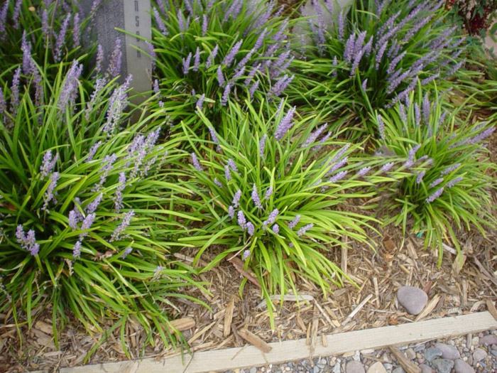 Plant photo of: Liriope muscari