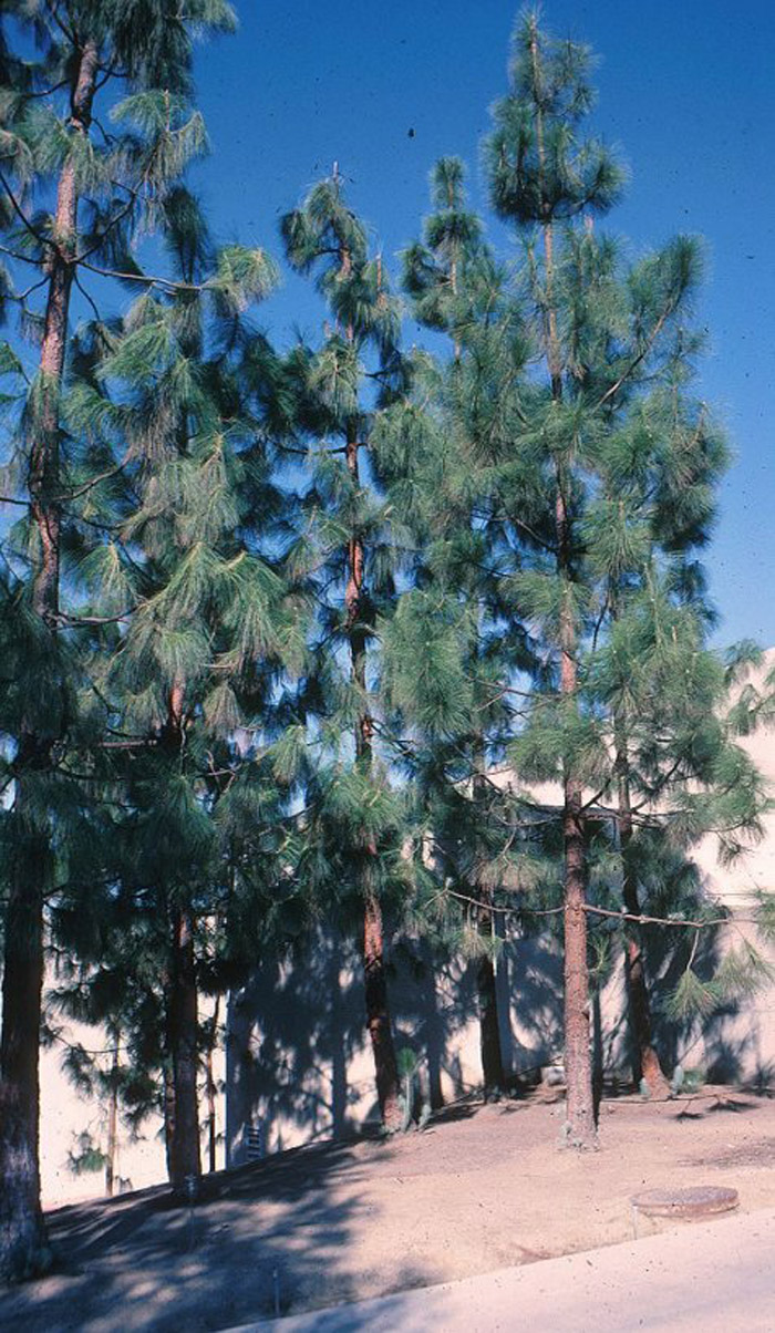Plant photo of: Pinus canariensis