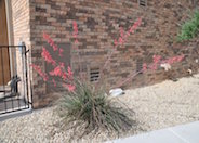 Bi-colored Hesperaloe