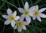Zephyranthes x 'Prairie Sunset'