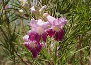Chilopsis linearis 'AZT Bi-Color'