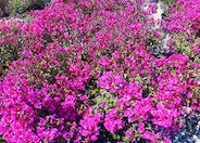 Shrub Bougainvillea, Temple Fire