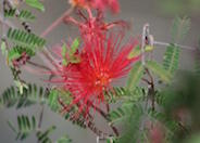 Calliandra peninsularis