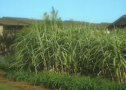Giant Chinese Miscanthus