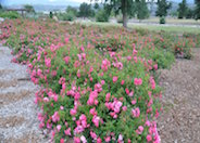 Ground Cover Rose selections