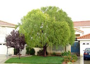Navajo Willow, Globe Willow