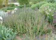 Purple Rain Whorled Clary Sage